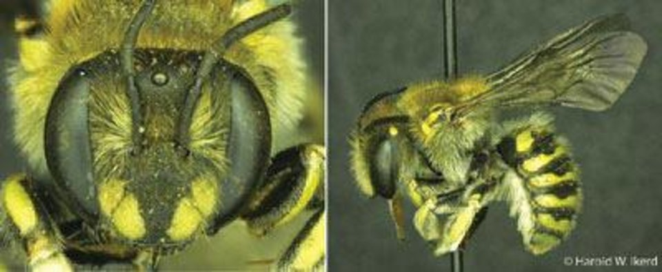 A researcher from Southwestern Oklahoma State University discovered the Anthidium michenerorum, a  species of Oklahoma bee. PHOTO PROVIDED <strong></strong>