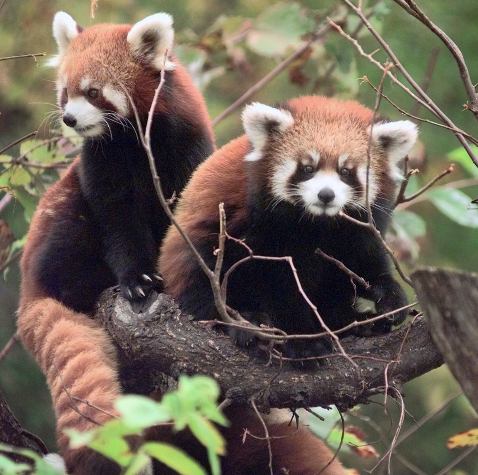 Photo - A red panda & her young cub perch on a tree in their habitat at the Oklahoma City Zoo. The mom is the one on the left.