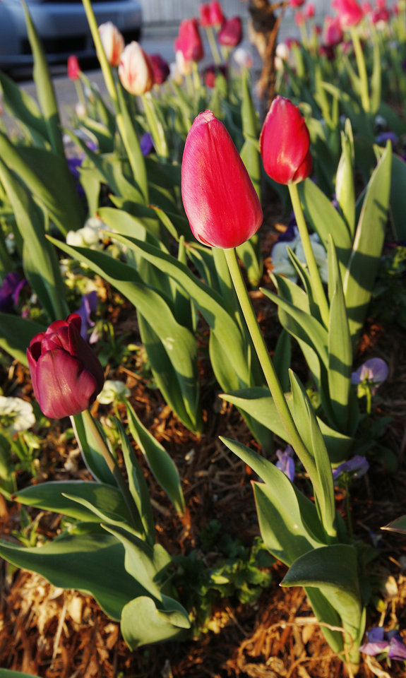 Photo - Tulips blooming at sunrise near N Rockwell and W Hefner signal the beginning of spring in Oklahoma City. Photo by Paul B. Southerland, The Oklahoman  PAUL B. SOUTHERLAND - PAUL B. SOUTHERLAND