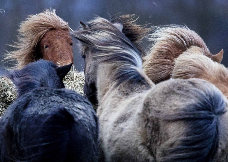 Photo -  Iceland horses stand together in a strong storm in their stud in Wehrheim near Frankfurt, Germany, Sunday, Feb. 9, 2020. (AP Photo/Michael Probst)