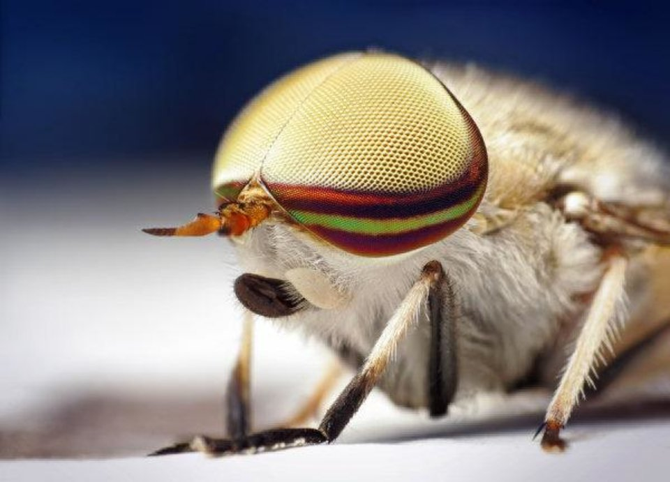 """Male striped horsefly. When he first saw one close-up, Shahan wrote on his Flickr page, he was struck by the """"beauty of its pale blonde compound eyes accented by the darker bands of color."""" Male horseflies are harmless, feeding only on nectar and pollen, he wrote. """"It's the females that have those wonderfully vicious scissor-like mouthparts that easily rip through human flesh."""" <strong>Thomas Shahan - www.thomasshahan.com</strong>"""
