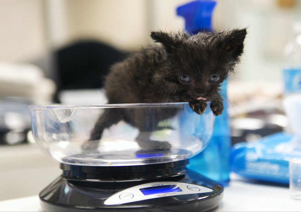 Photo - In this Thursday, April 3, 2014 photo, Harvey is weighted, after being bottle fed, to monitor his progress at the Best Friends Animal Society kitten nursery in the Mission Hills area of Los Angeles. Tens of thousands of people who think they are saving abandoned wild kittens by taking them to shelters are hastening their deaths because most shelters don't have round-the-clock staffs to care for them. (AP Photo/Damian Dovarganes)