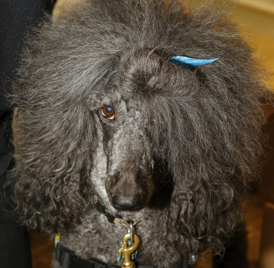 Rossi the Approval Poodle