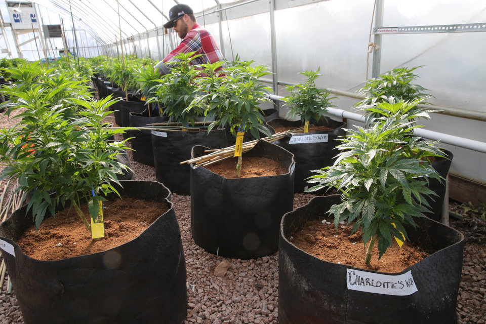 Photo - FILE - In this Feb. 7, 2014 file photo, a worker cultivates a special strain of medical marijuana known as Charlotte's Web inside a greenhouse, in a remote spot in the mountains west of Colorado Springs, Colo. Utah will begin issuing registration cards Tuesday, July 8, 2014, for its limited medical marijuana program targeting adults and children with severe epilepsy.  (AP Photo/Brennan Linsley, File)
