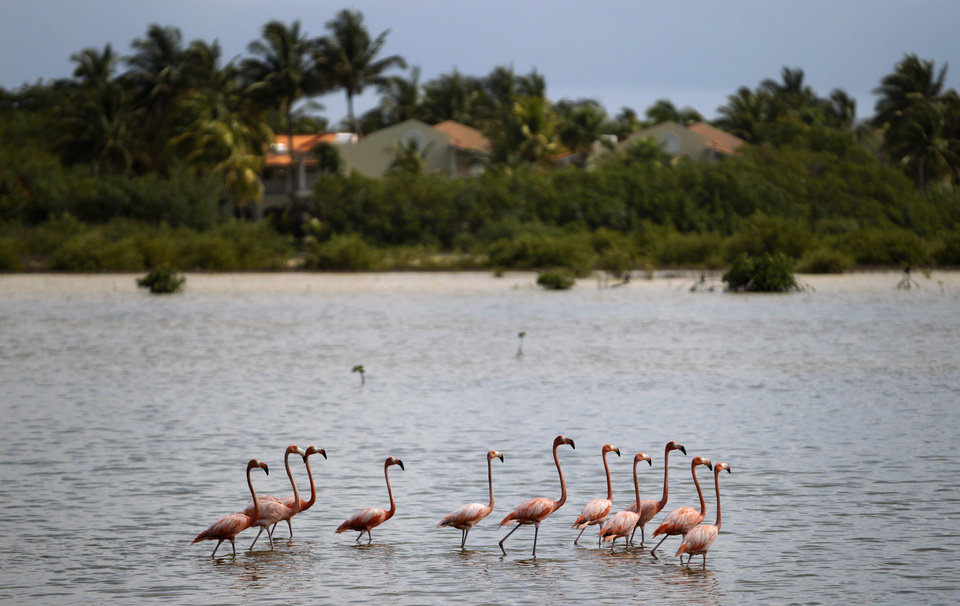 Photo - In this May 21, 2013 photo, flamingos walk in a lake in Cayo Coco, in Ciego de Avila, Cuba.  Scientists project that rising sea levels would seriously damage or wipe dozens of Cuban towns off the map. Beaches would be submerged, they found, while freshwater sources would be tainted and croplands rendered infertile. (AP Photo/Franklin Reyes)