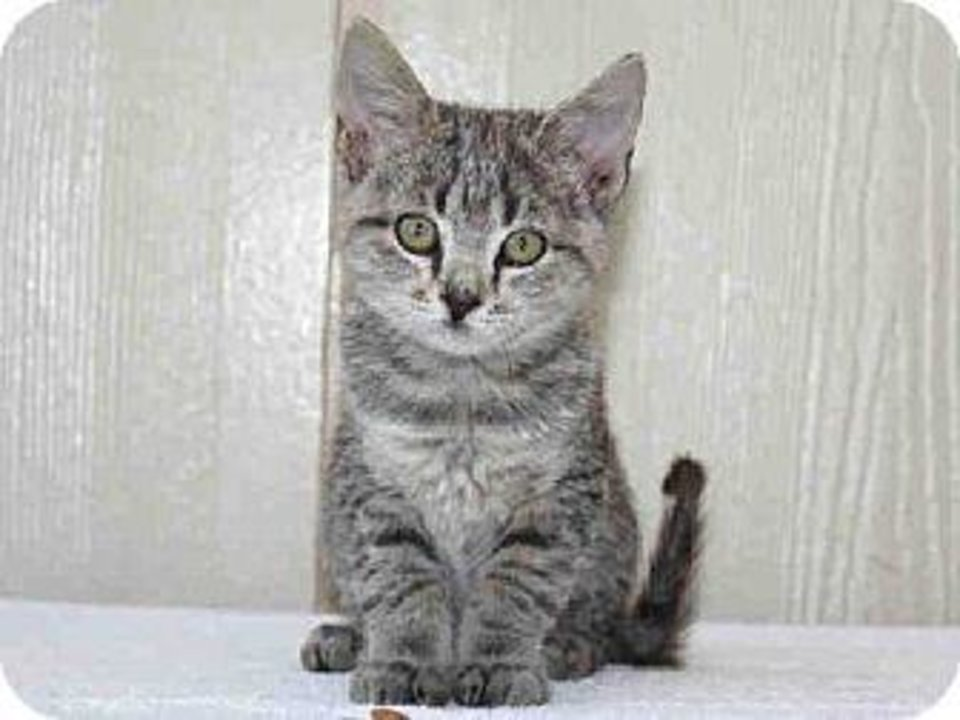 Kiki is a beautiful gray tiger in need of a loving home. She has a great personality and would make a wonderful family pet. Kiki is 2 months old and weighs about 2 pounds. She is at the Edmond Animal Welfare Shelter. PHOTO PROVIDED BY EDMOND ANIMAL WELFARE SHELTER