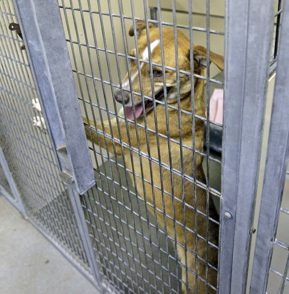 Photo - Lucy ((A106171), a female labrador retriever, waits to be adopted at the Oklahoma City Animal Shelter, 2811 SE 29th St., in Oklahoma City, Wednesday, March 14, 2012. Photo by Nate Billings, The Oklahoman