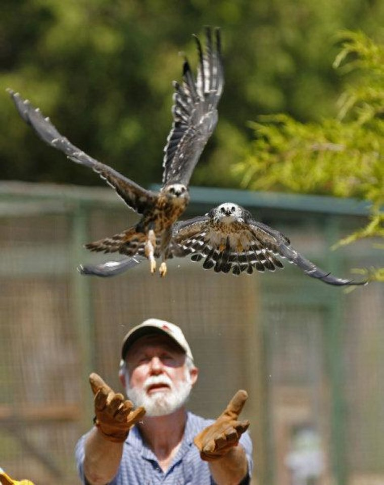 Tom Sanders and Kristy Wicker (out of view at left) release recovered Mississippi Kites at WildCare on Thursday, August 25, 2011, in Noble, Okla.   Photo by Steve Sisney, The Oklahoman ORG XMIT: KOD