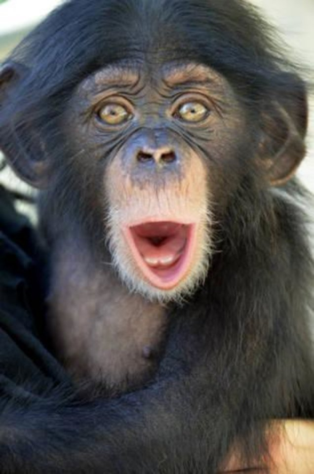 Photo - Ruben was two months old when this photo was taken at the Lowry Park Zoo in Tampa Bay. Ruben arrived at the Oklahoma City Zoo in late July after attempts to integrate him with other chimps failed.  Dave Parkinson - Dave Parkinson