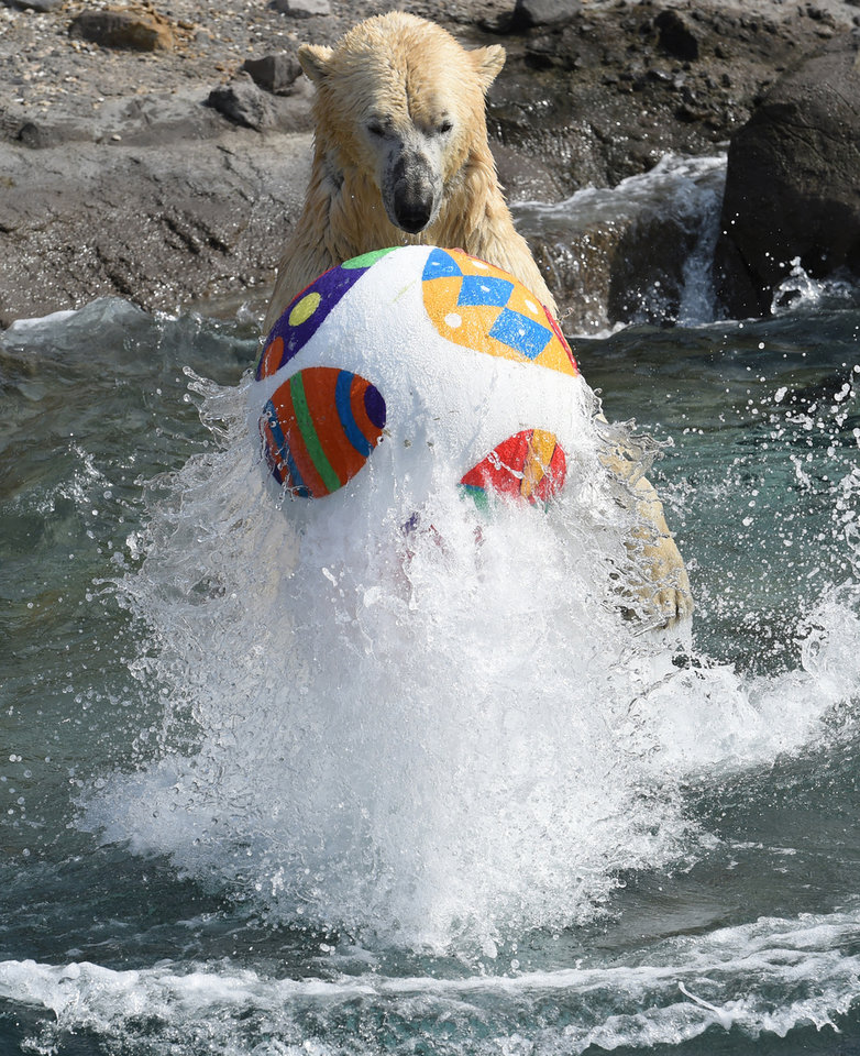 Polar bear Nanuq plays with an Easter egg ball at the zoo in Hannover, Germany, Thursday, April 3, 2014. The zoo keepers surprised the animals with an Easter egg hunt on the first day of the Lower-Saxon Easter school holidays. (AP Photo/dpa, Holger Hollemann)