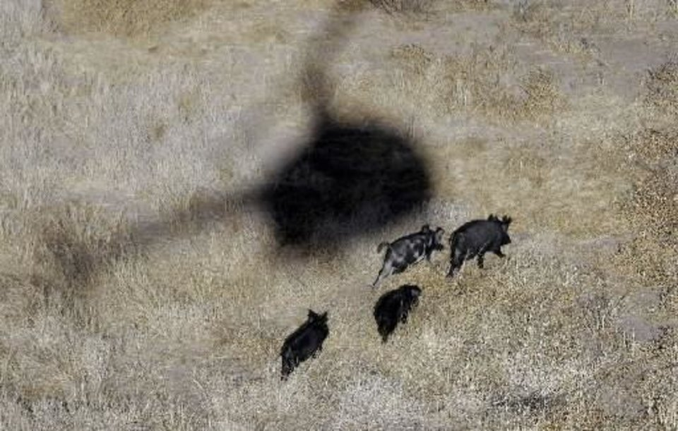 The shadow of Kyle Lange's helicopter hover over feral pigs near Mertzon, Texas, Wednesday, Feb. 18, 2009. Under a legislation proposed by a Fort Worth lawmaker, recreational sportsmen would be allowed to join professional hunters like Lange to aerial-hunt feral hogs to help thin out their relentlessly multiplying and destructive ranks from the perch of a helicopter. (AP Photo/Eric Gay)