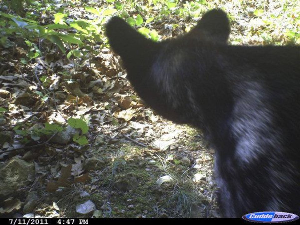 Photo - A bear is caught on camera near deer corn in Cherokee County.  GARY HARDESTY - PHOTO PROVIDED