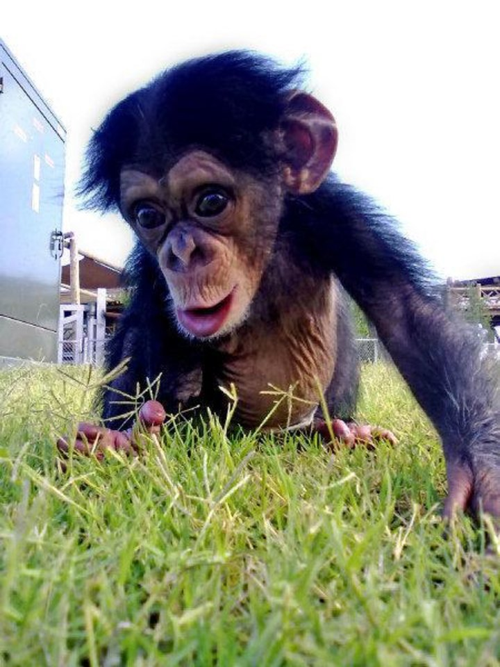 Siri the chimpanzee was adopted by the Oklahoma City Zoo after her mother - the oldest chimp on record to give birth - couldn't care for her. She is recovering and will be on public display in the coming weeks. <strong>Nicole Sweetin - PHOTO PROVIDED</strong>