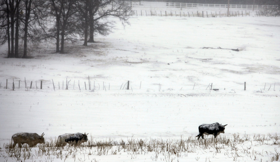 Photo - Bulls walk a across a field near E. Charter Oak Rd. in Logan County, Oklahoma February  1, 2011. Photo by Steve Gooch, The Oklahoman