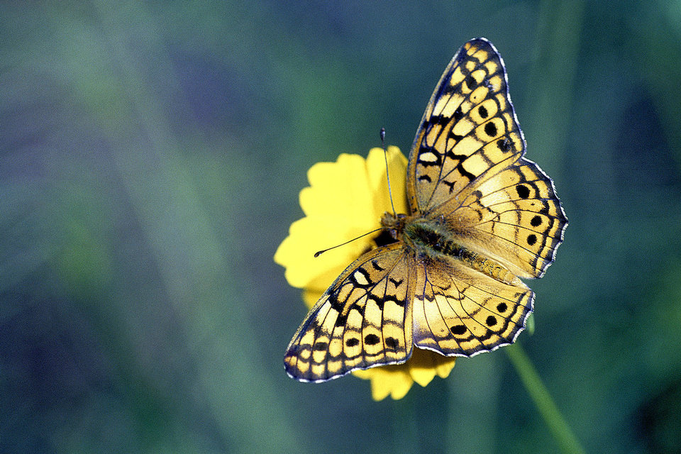 The Variegated Fritillary, Euptoieta claudia, is a wide ranging species found in much of the U.S. It loves nectar and can be easily attracted to any garden. It is very common in Oklahoma. Bryan E. Reynolds