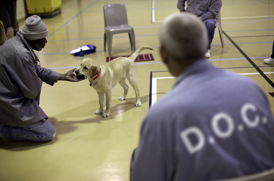 In this Dec. 18, 2012 photo, Nero, a veteran assistance dog in training, takes a ball from inmate James Harrison during a training session at Western Correctional Institution in Cresaptown, Md. Nero is one of three dogs assigned since September to inmates at the maximum-security prison for basic training as service dogs for disabled military veterans. The inmates, who are also veterans, are among the state\'s first prisoners to join a national trend of training service dogs in correctional institutions. Professional trainers say prison-raised dogs tend to graduate sooner and at higher rates than those raised traditionally in foster homes because puppies respond well to the consistency and rigid schedules of prison life. (AP Photo/Patrick Semansky)