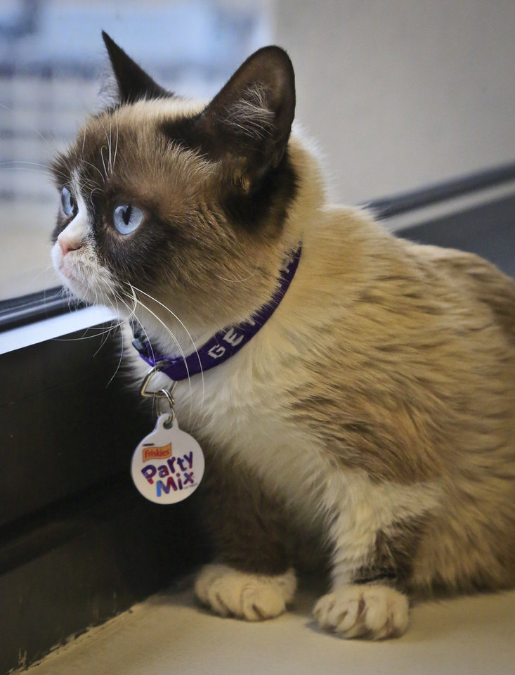 Photo - Grumpy Cat, an Internet celebrity cat whose real name is Tardar Sauce, is photographed on Friday April 4, 2014 in New York. Known for her facial expression, her owner Tabatha Bundesen says that Grumpy Cat's permanently grumpy-looking face is due to feline dwarfism.  (AP Photo/Bebeto Matthews))