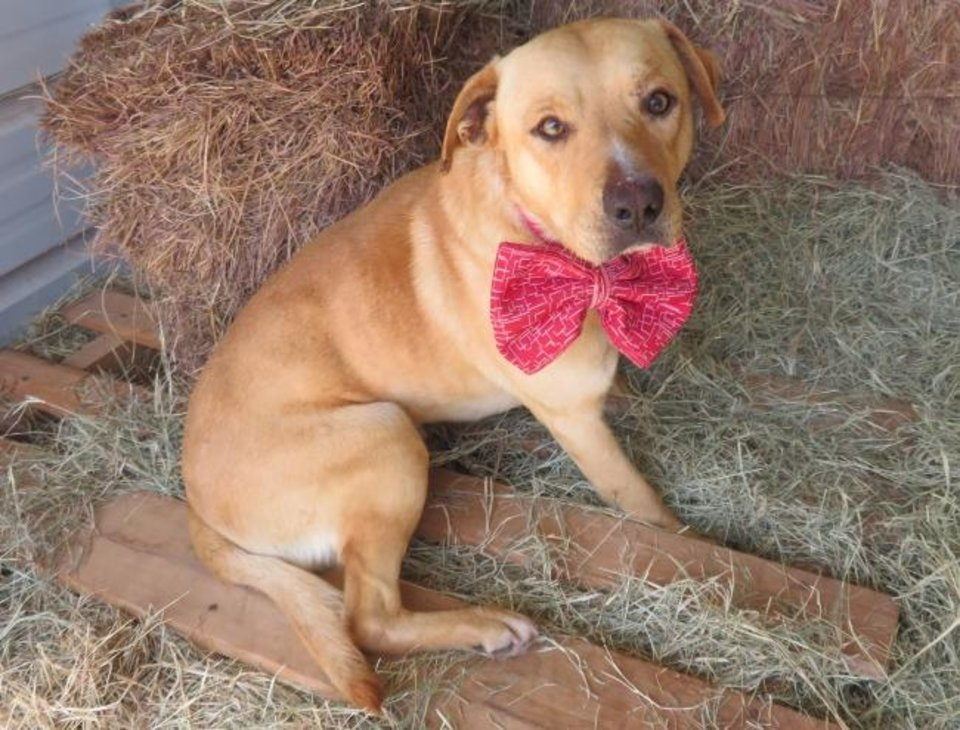 Photo -  Griffen, a wonderful 4-year-old, 50-pound Labrador mix, is laidback and very loving. He plays well with other dogs. Griffen's number at the Oklahoma City Animal Shelter is 330754, and his adoption fee is $60. All pets are spayed or neutered, have a microchip, and have had age-appropriate shots and a health check. The shelter is open from noon to 5:30 p.m. seven days a week at 2811 SE 29. For more information, go to www.okc.petfinder.com and www.okc.gov. [PHOTO PROVIDED]