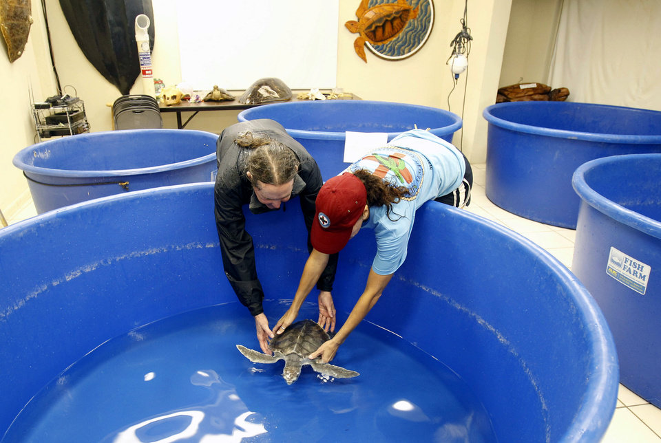 Photo -   Richie Moretti, left, and Bette Zirkelback release a kemps ridley turtle into an indoor tank in Marathon, Fla., Saturday, Aug. 25, 2012 . The turtles were moved from outside tanks to safer indoor tanks for protection in anticipation of Tropical Storm Isaac, Saturday, Aug. 25, 2012. Isaac's winds are expected to be felt in the Florida Keys by sunrise Sunday morning. (Alan Diaz)