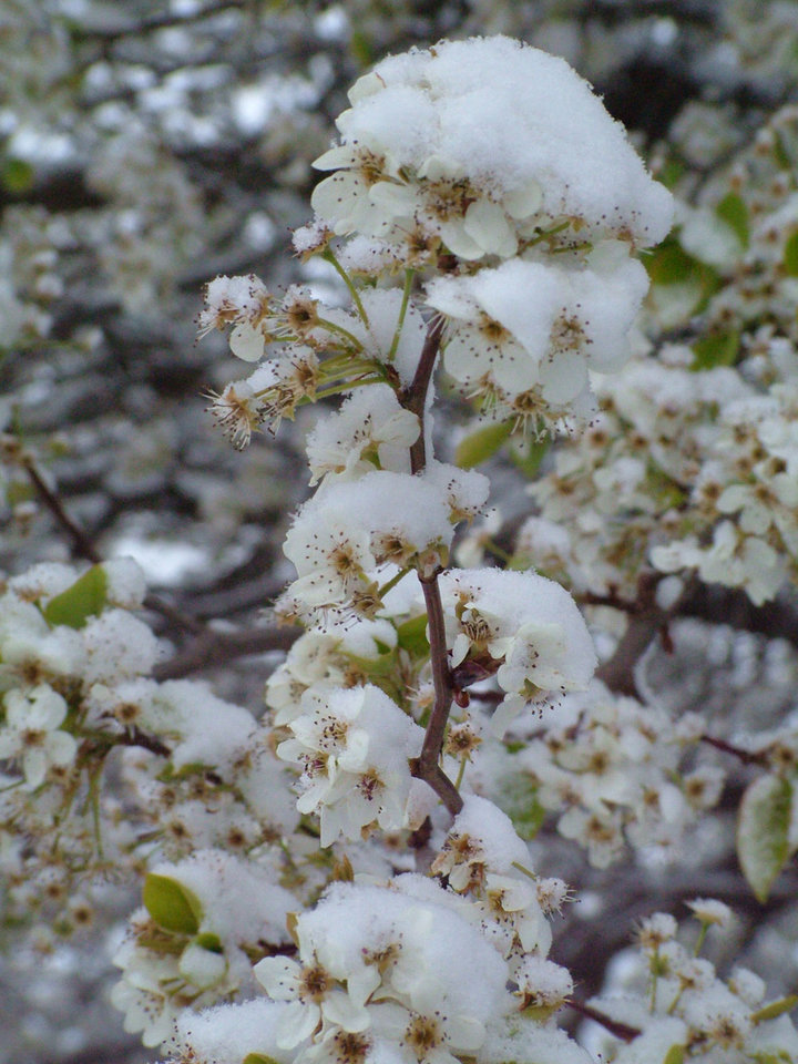 Thursday morning\'s snow was pretty while it lasted. Here it caps blooms of a Calleryana pear tree. Community Photo By: David Archer Submitted By: lin,