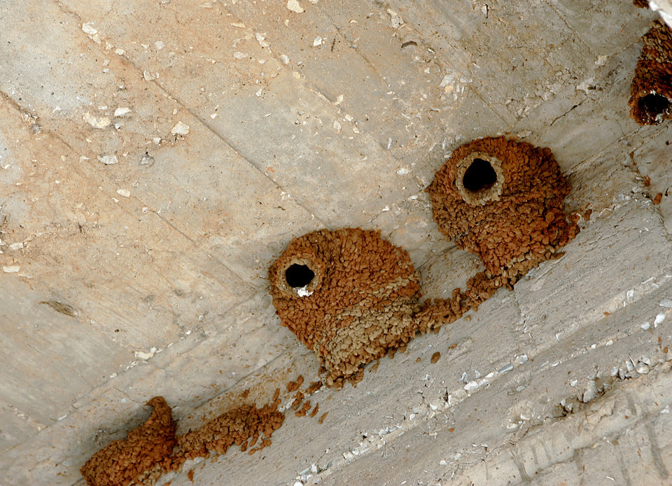 Photo - Adult Mudswallows have started to rebuild their nests at Lake Hefner in Oklahoma City, on Monday, June 9, 2008. 186 birds were killed and one survived when a man knocked down their nests over the weekend. By John Clanton, The Oklahoman