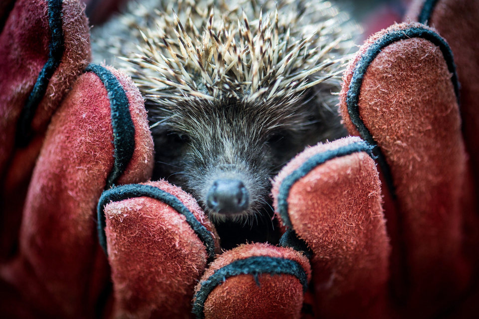 Photo - A recovered hedgehog is held in gloved hands before its release near Kecskemet, 85 kms southeast of Budapest, Hungary, Wednesday, Aug. 24, 2016. Some forty previously injured and rehabilitated animals belonging to protected species were released into the wild as a result of the joint efforts of Kecskemet Zoo and Kiskunsag National Park. (Sandor Ujvari/MTI via AP)