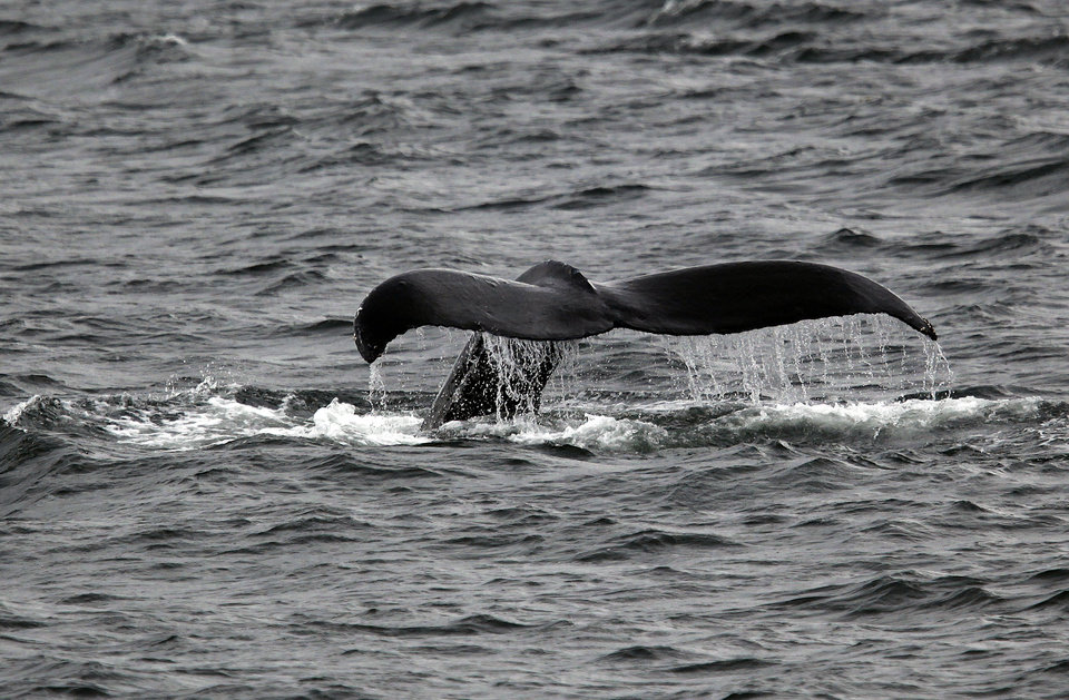 A humpback whale shows its fluke in the  Chatham Strait in Southeast Alaska, Tuesday, June 5, 2012.  Photo by Sarah Phipps, The Oklahoman
