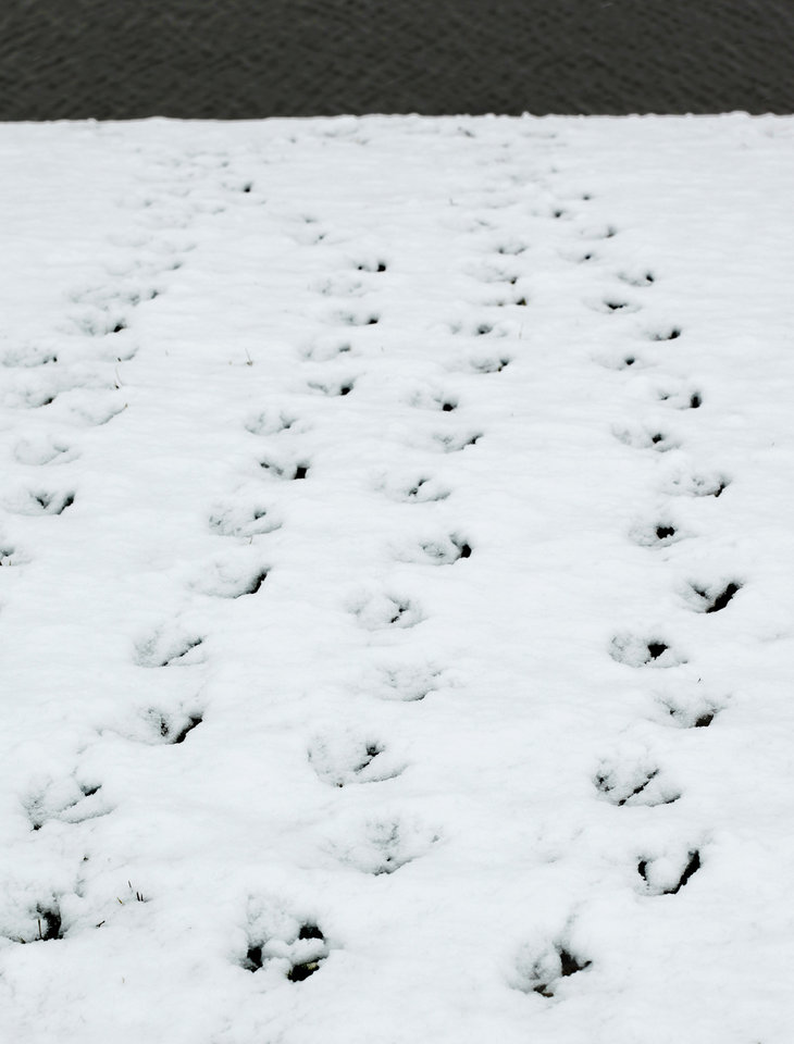 Canadian geese footprints leading to water. Snow details Monday, Feb. 8, 2010. Photo by Doug Hoke, The Oklahoman