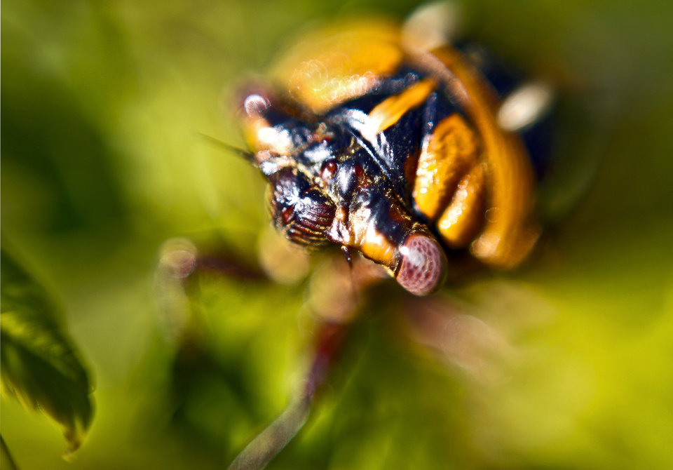 A close up shot of a cicada as it sits in a tree on Tuesday, Sept. 7, 2010, in Yukon, Okla.   Photo by Chris Landsberger, The Oklahoman