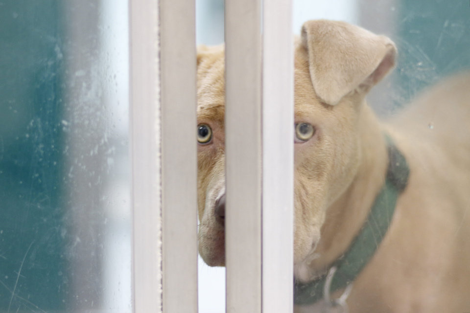 Photo -  A pit bull terrier named Fez looks out of his kennel at the Oklahoma City Animal Shelter, Friday, June 1, 2018. [Anya Magnuson/The Oklahoman file]
