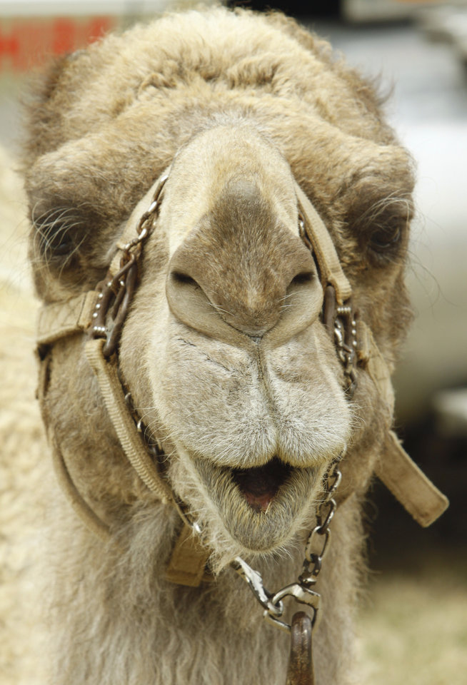 A camel rests in the parking lot of Reaves Park as his owners prepare for the weekend's Medieval Fair on Wednesday, March 30, 2011, in Norman, Okla.  Photo by Steve Sisney, The Oklahoman