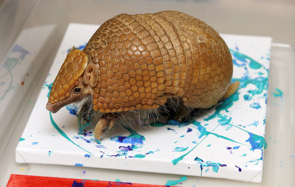 Speedy, a three-banded armadillo, runs around on a canvas while painting. Photo by Paul B. Southerland,  The Oklahoman