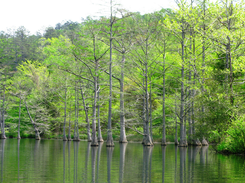 Photo - A distinctive grove of old baldcypress trees grows out of the water of the Lower Mountain Fork River at Beavers Bend State Park. PHOTO BY LILLIE-BETH BRINKMAN, THE OKLAHOMAN