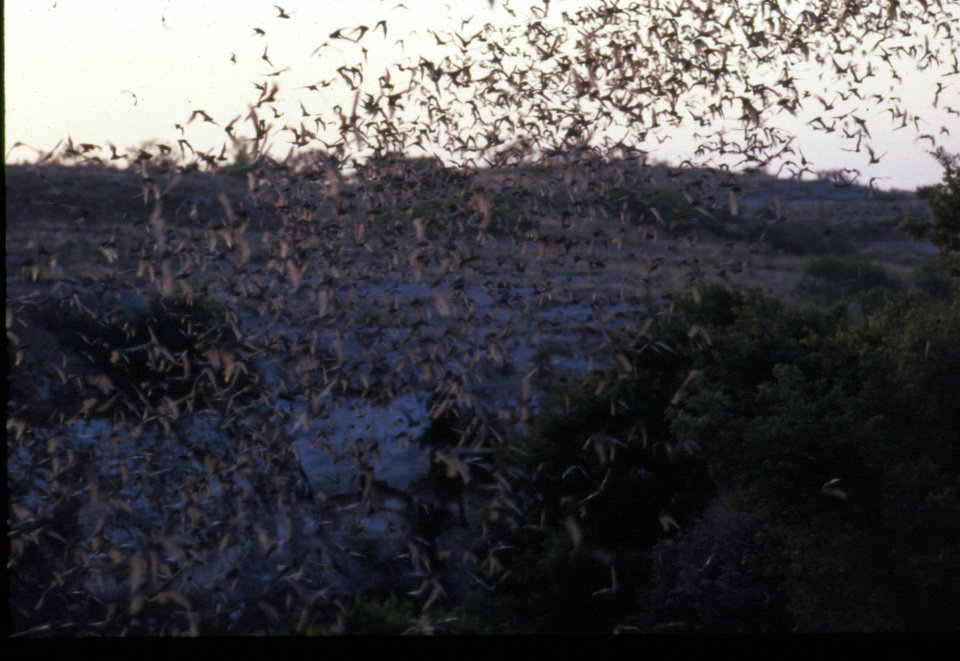 More than one million bats darken the sky around the Selman Bat Cave in northwest Oklahoma