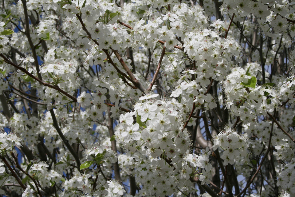 Bradford Pear tree in bloom<br/><b>Community Photo By:</b> Cindi Tennison<br/><b>Submitted By:</b> Cindi , Bethany