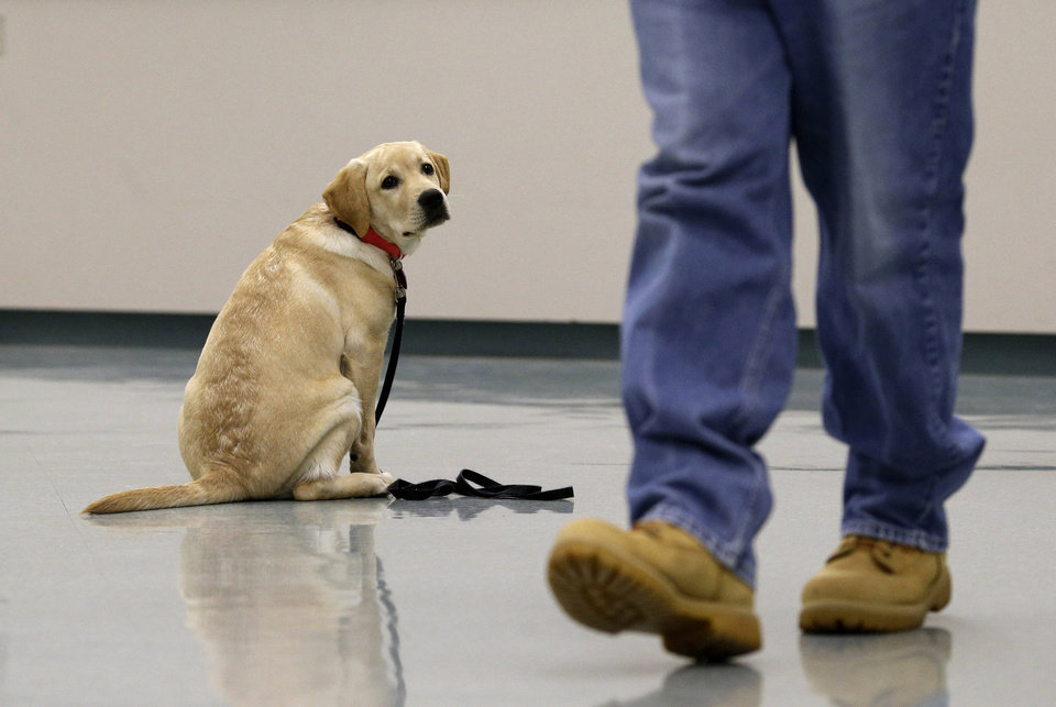In this Nov. 26, 2012 photo, Dill, a veteran assistance dog in training, looks on as inmate John Barba walks away after commanding him to sit and stay during a demonstration at Western Correctional Institution in Cresaptown, Md. Dill is one of three dogs assigned since September to inmates at the maximum-security prison for basic training as service dogs for disabled military veterans. The inmates, who are also veterans, are among the state\'s first prisoners to join a national trend of training service dogs in correctional institutions. Professional trainers say prison-raised dogs tend to graduate sooner and at higher rates than those raised traditionally in foster homes because puppies respond well to the consistency and rigid schedules of prison life. (AP Photo/Patrick Semansky)