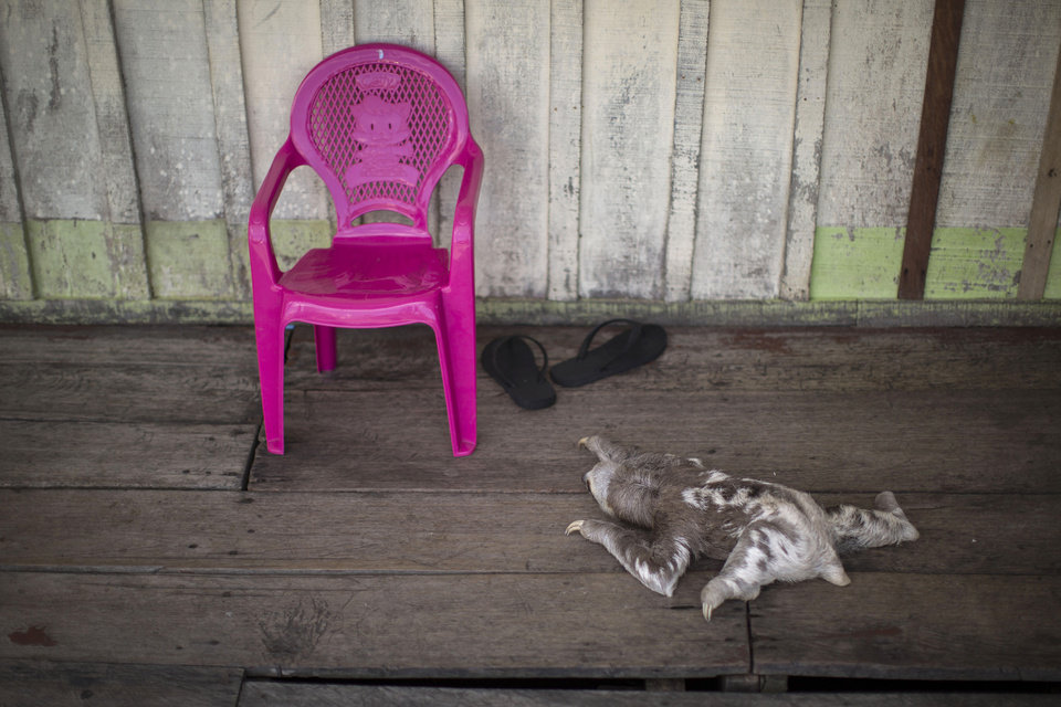 Photo - In this May 20, 2014 photo, a sloth crawls next to a chair on the Silva family floating house in the Lago do Janauari, or Solimoes River, near Manaus, Brazil. Tourist boats dock on what effectively is the Silva family's front doorstep, and the family snaps into action, peeling the reluctant sloths from the legs of the plastic patio table, rousing the retiring snake from its hiding spot in the corner and offering up the snapping, 2-foot-long caiman to the cameras. (AP Photo/Felipe Dana)