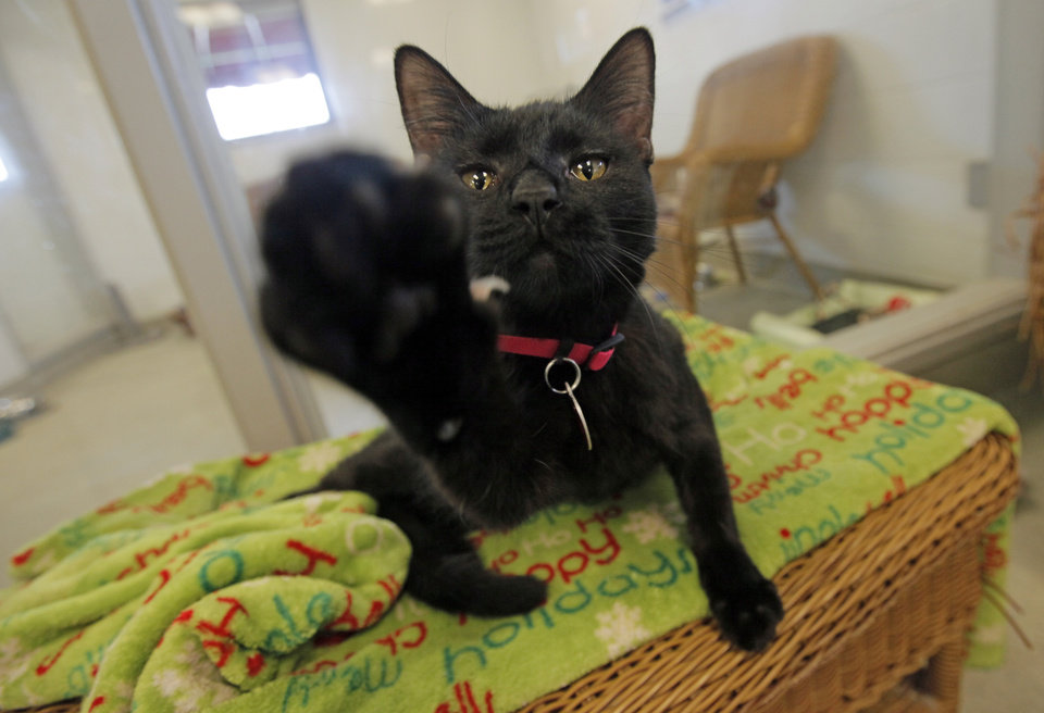 Photo - Snookums (A103235), a female cat, is eager to play in the cat adoption area at the Oklahoma City Animal Shelter, 2811 SE 29th St., in Oklahoma City, Wednesday, March 14, 2012. Photo by Nate Billings, The Oklahoman