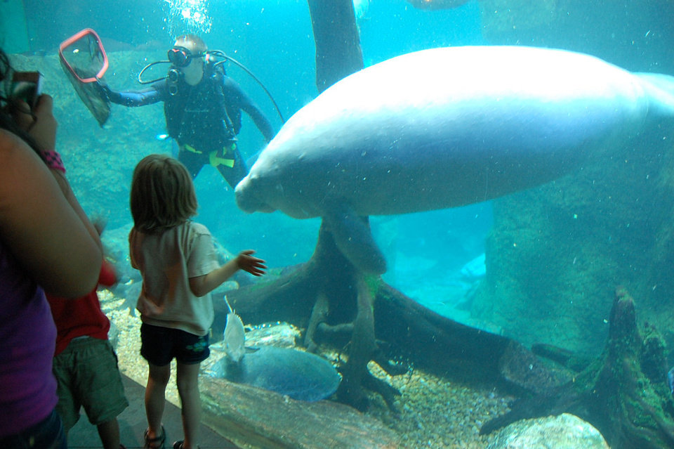 Photo - A diver prepares to feed a manatee at the Dallas World Aquarium. Photo by Annette Price, for The Oklahoman.