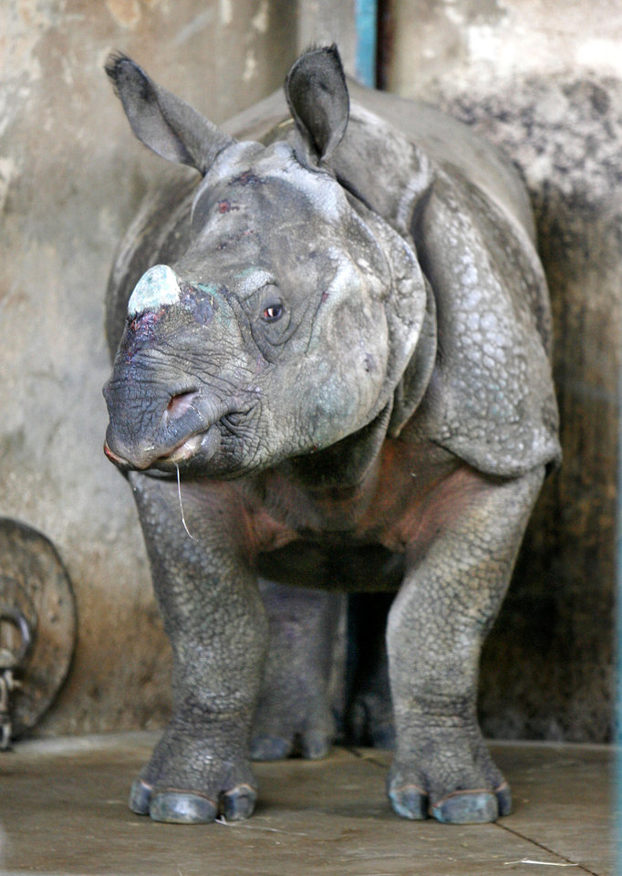 Photo - BABY RHINOCEROS: This new female rhino named Niki is getting used to her new surroundings at the Oklahoma City Zoo in Oklahoma City, OK, Friday, May 22, 2009. By Paul Hellstern, The Oklahoman ORG XMIT: KOD