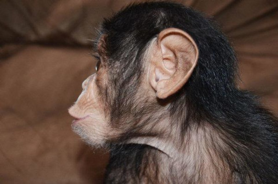 Siri the chimpanzee was adopted by the Oklahoma City Zoo after her mother - the oldest chimp on record to give birth - couldn't care for her. She is recovering and will be on public display in the coming weeks. <strong>Dr. Jen DÕAgostino - PHOTO PROVIDED</strong>