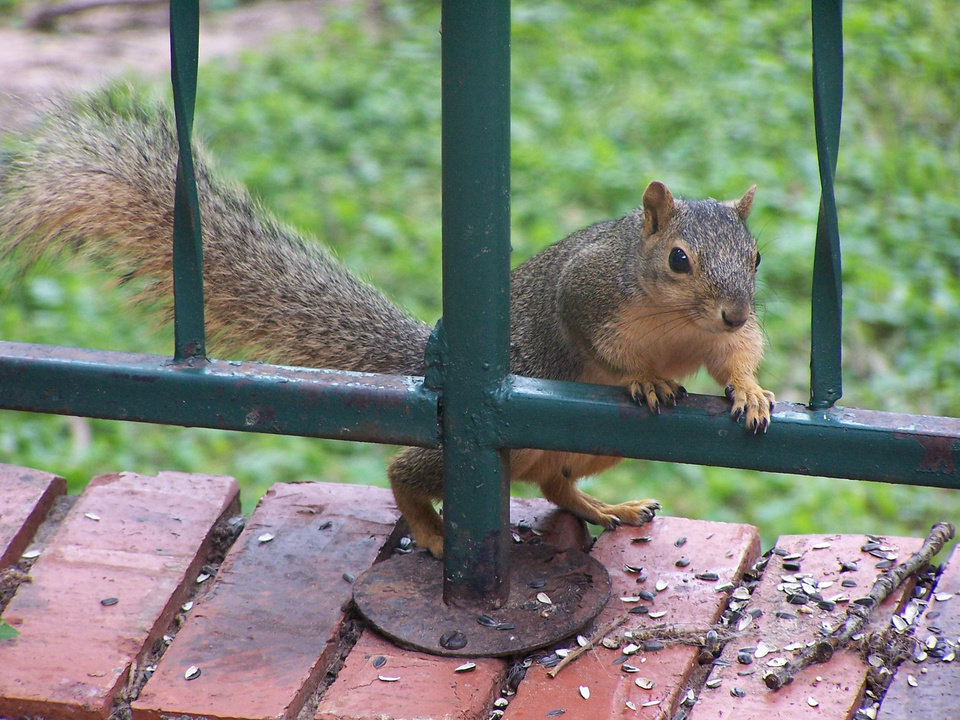 A squirrel investigates my back patio<br/><b>Community Photo By:</b> Cindi Tennison<br/><b>Submitted By:</b> Cindi , Bethany
