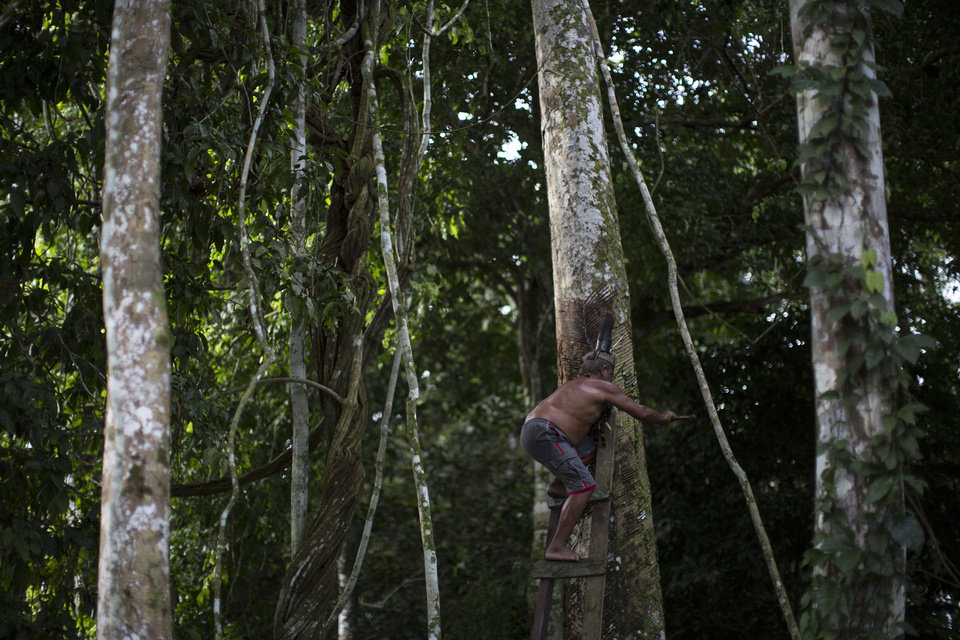 Photo - In this May 23, 2014 photo, Severino Capirava taps into a rubber tree near his house in Puraquequara lake, near Manaus, Brazil. Manaus, a 2014 World Cup host city, blossomed during the rubber boom of the late 1800s, briefly becoming one of the world's wealthiest cities. In the early 1900s, competition from rubber plantations in Asia caused the price of the milky tree sap to plummet, sending the city into a decades-long spiral. (AP Photo/Felipe Dana)