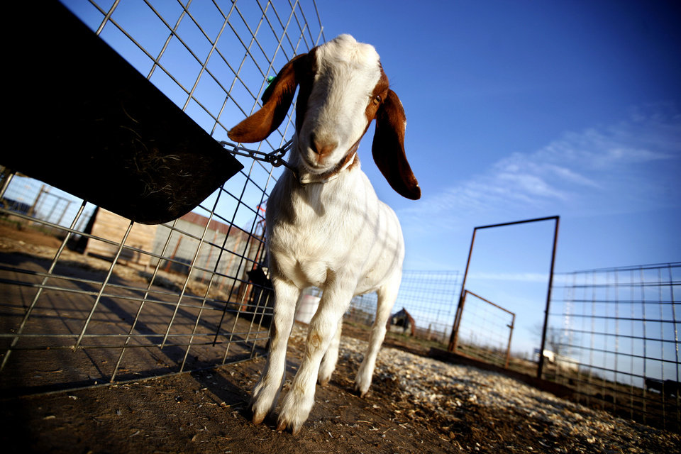 A goat stands outside a barn in Hennessey on Thursday. Photos by Sarah Phipps, The Oklahoman