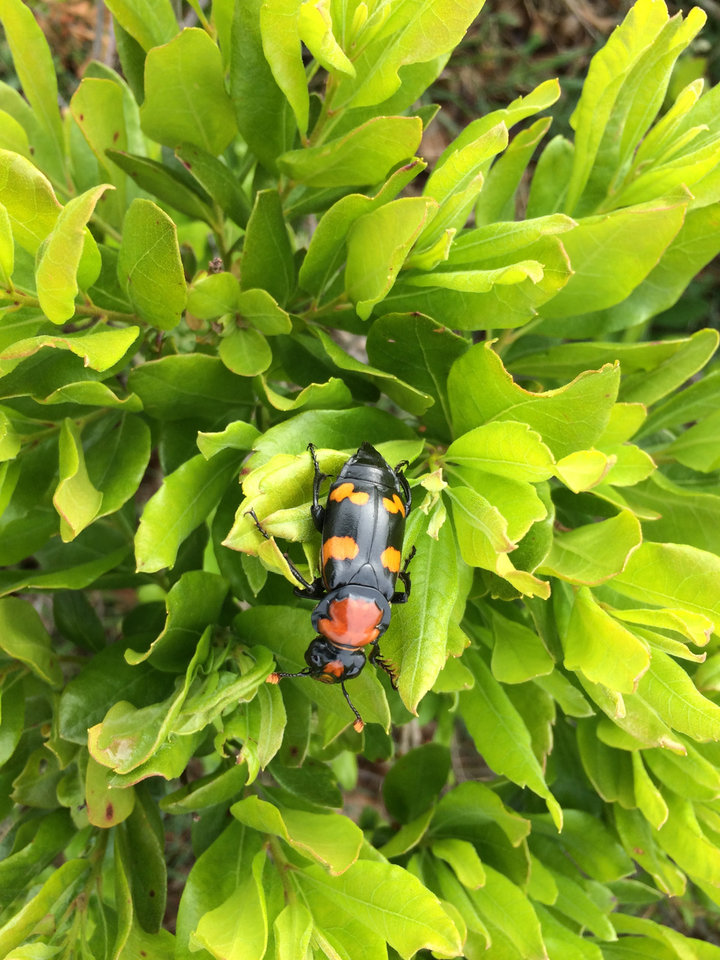 Photo -  An American burying beetle is shown on a plant. [PROVIDED]