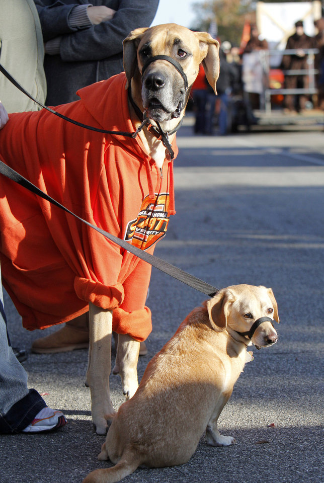 Photo - Xander (left) and Sundance watch the Oklahoma State Cowboy's homecoming parade in downtown Stillwater, OK, Saturday, Oct. 29, 2011. By Paul Hellstern, The Oklahoman