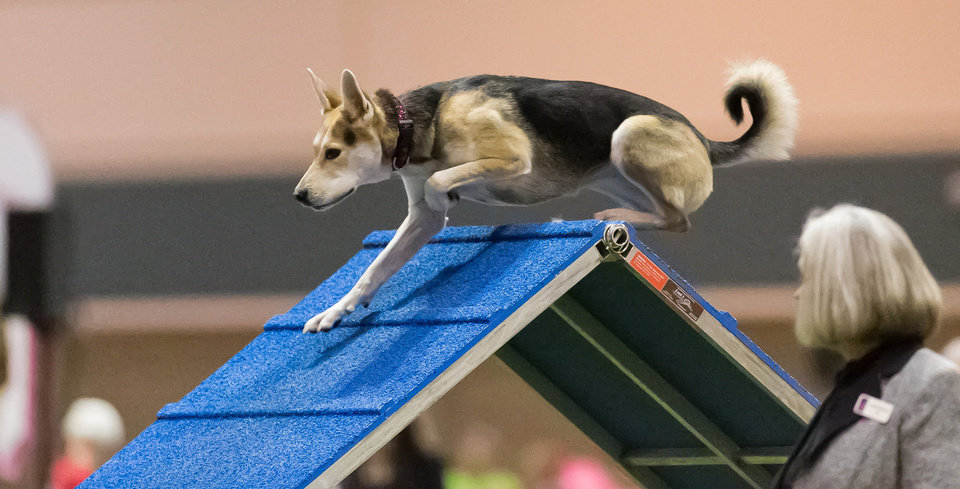 Photo - In this Dec. 15, 2012 photo provided by Great Dane Photos, Roo!, a husky mix, goes over an obstacle during agility competition in Orlando, Fla. Roo! will compete at the Westminster Kennel Club Dog Show's agility competition in February 2014. When the nation's foremost dog show added an event open to mixed breeds, owners cheered that everydogs were finally having their day. (AP Photo/Great Dane Photos, Amy Johnson) NO SALES