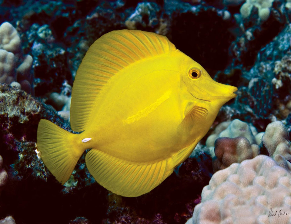 Photo - This undated image provided by Robert Wintner shows a yellow tang in Hawaii. The waters off the Hawaii's largest island are home to a half-million brightly-colored tropic fish that are scooped up into nets each year and flown across the globe into aquariums from Berlin to Boston. Scientists say the aquarium fishery off the Big Island is among the best managed in the world, but it has nevertheless become the focus of a fight over whether it's ever appropriate to remove these fish from reefs for people to look at and enjoy. (AP Photo/Robert Wintner)