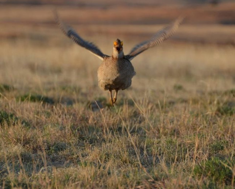 Photo -  A lesser prairie chicken takes flight. [PROVIDED BY WADE FREE, OKLAHOMA DEPARTMENT OF WILDLIFE CONSERVATION]