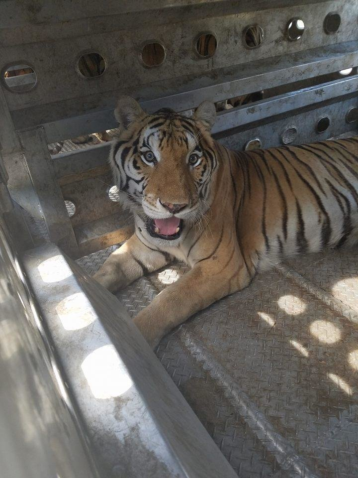 Photo -  This tiger was one of a group of 19 animals shipped to Greater Wynnewood Animal Park in a cattle trailer. [Joseph Maldonado, Facebook]